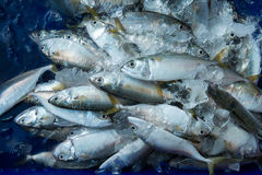 En hög av härliga små tonfiskfiskar på en räknare Arkivbilder