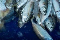En hög av härliga små tonfiskfiskar på en räknare royaltyfri foto