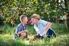 En hög man med sonsonen som har gyckel, när välja äpplen i fruktträdgård i höst arkivfoto