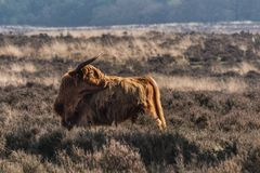En höglands- ko på hederna arkivbilder