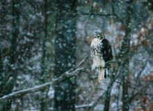 En hök som sätta sig under en snöstorm arkivfoton