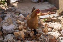 En höna med en flock av hönor som söker efter föda i lantliga Kina royaltyfri bild