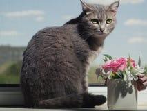 En h?rlig gr? gr?n?gd katt med svartvita band ligger p? f?nsterbr?dan och ser lite i v?g fr?n kameran arkivfoton