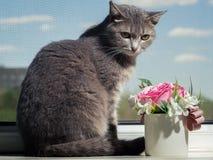 En h?rlig gr? gr?n?gd katt med svartvita band ligger p? f?nsterbr?dan och ser lite i v?g fr?n kameran royaltyfria bilder