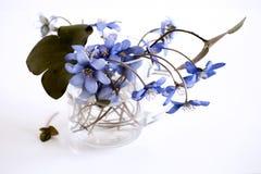 En härlig vårbukett, Liverwort, blåsippanobilisblommor på en trävit bakgrund Ätligt sunt minimalism royaltyfri fotografi