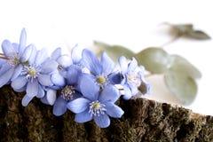 En härlig vårbukett, Liverwort, blåsippanobilisblommor på en trävit bakgrund Ätligt sunt minimalism arkivbilder