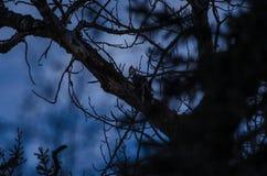 En hackspett på natten Arkivbilder