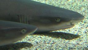 En haj på havsbotten lager videofilmer