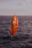 En hakad havsfisk Arkivbilder