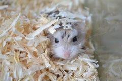 En hamster döljer royaltyfria bilder