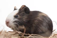 En hamstercloseup på vit Arkivfoton