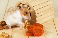 En hamsternärbild äter en valnöt från hans hus Royaltyfria Bilder