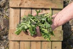 En hand av lockig grönkål och lilor som spirar broccoli Arkivbilder