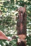 En hand av en manhacka ett träd med en yxa mot en suddig grön bakgrund royaltyfri foto