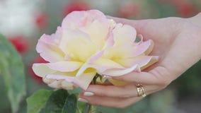 En hand för kvinna` s trycker på försiktigt en ros stock video