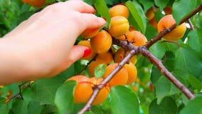 En hand för kvinna` som s river mogna aprikors från ett närbildträd, ultrarapidskytte lager videofilmer