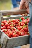 En hand som rymmer en träkorg full av organiska nya jordgubbar Fotografering för Bildbyråer