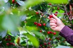 En hand som väljer den stora mognade körsbäret från träd Fotografering för Bildbyråer