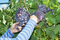 En hand väljer en druva i vingården Royaltyfria Bilder
