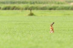 En hare är stående upp i ett fält Arkivfoto