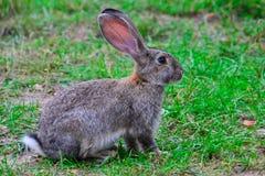 En hare på gräset Arkivbild