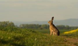 En hare som sitter på balken. Royaltyfria Bilder