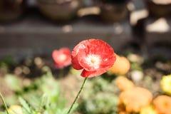 En havrevallmo blommaPapaver somrhoeas kallade också havre, steg, fältvallmo, och Flanders är den röda vallmo, örtartad art av royaltyfri fotografi