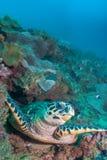 En hawksbillsköldpadda på en rev Royaltyfria Bilder