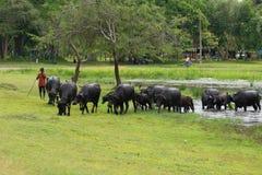 En herde med en flock av kor Royaltyfri Fotografi