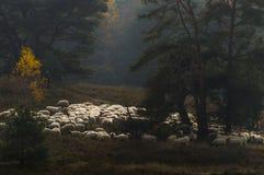 En herde och hans flock Royaltyfri Bild