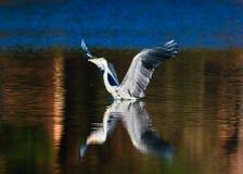 En Heron arkivfoton