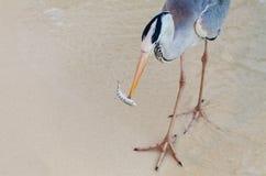 Heronen fångar och äter en fisk arkivfoton