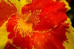 En hibiskusblomma som virvlar runt i ljus guling och apelsin arkivfoton