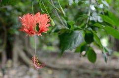 En hibiskusschizopetalusblomma Fotografering för Bildbyråer