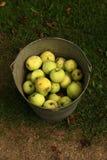 En hink av organiska äpplen Arkivbild