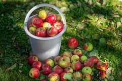 En hink med äpplen på gräsmattan n Arkivfoto