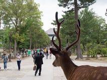 En hjort granskar turister i Nara, Japan Fotografering för Bildbyråer