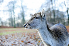 En hjort i en höstliggande Royaltyfri Foto