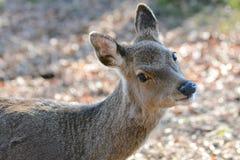 En hjort i höstljuset Arkivfoto