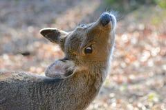 En hjort i höstljuset Fotografering för Bildbyråer