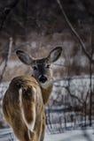En hjort i skogen som tillbaka stirrar på kameran Arkivfoto