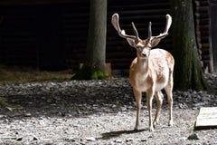 En hjort i wildparken Schweinfurt, Tyskland fotografering för bildbyråer