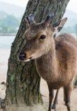 En hjort på den Miyajima ön Arkivbilder