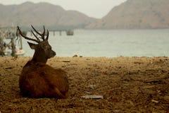 En hjort på en ö Arkivbilder