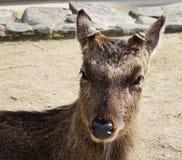 En hjort på parkera Royaltyfria Foton