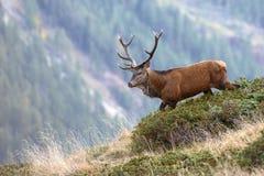En hjort som går på en bergöverkant Arkivbild