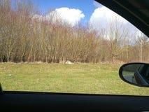 En hjort som lägger på gräset Arkivfoton