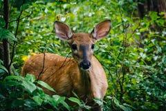 En hjort som ses längs Limberlosten, skuggar, i Shenandoah medborgare P Arkivfoto