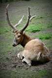 En hjort vilar på gräsmattan i den Prague zoo royaltyfria foton