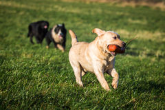 En honden die lopen spelen Royalty-vrije Stock Afbeeldingen